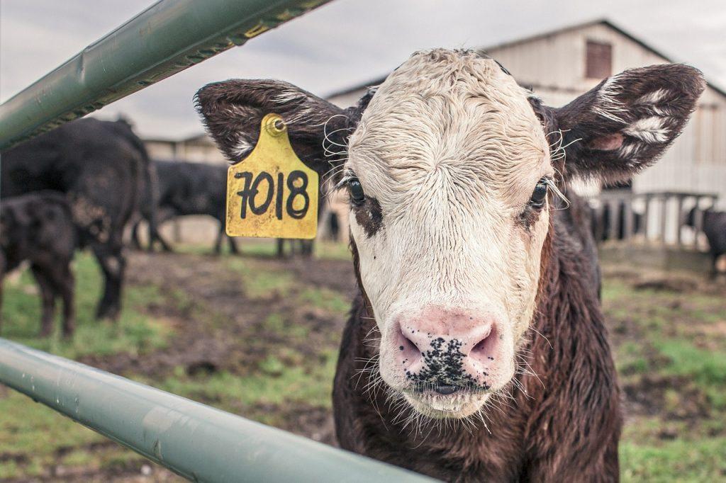 Kalb wartet auf Schlachtung (Fleisch)